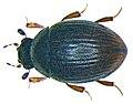 Cryptopleurum minutum (Fabricius, 1775) (3421643020) (2).jpg