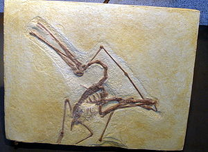 Ctenochasma - Fossil specimen of a juvenile C. elegans