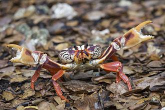 Gecarcinus ruricola - Image: Cuban Red Crab (Gecarcinus ruricola), Bahía de Cochinos