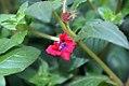 Cuphea llavea Flamenco Rumba 0zz.jpg