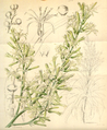 Curtis's Botanical Magazine, Plate 4279 (Volume 73, 1847).png