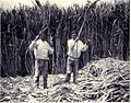 Cutting Sugar Cane, MON 1909.jpg