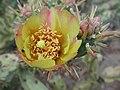 Cylindropuntia acanthocarpa flower.jpg
