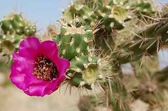 Cylindropuntia imbricata - Image: Cylindropuntia spinosior, with flower, Albuquerque