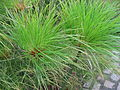 Cyperus papyrus detail 02 by Line1.JPG