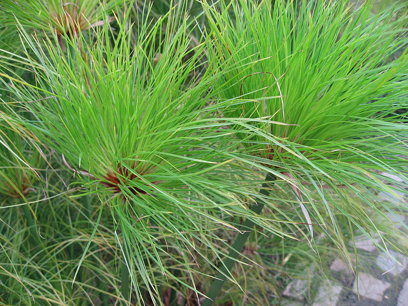 File:Cyperus papyrus detail 02 by Line1.JPG