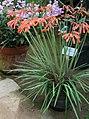 Cyrtanthus parviflorus02.jpg