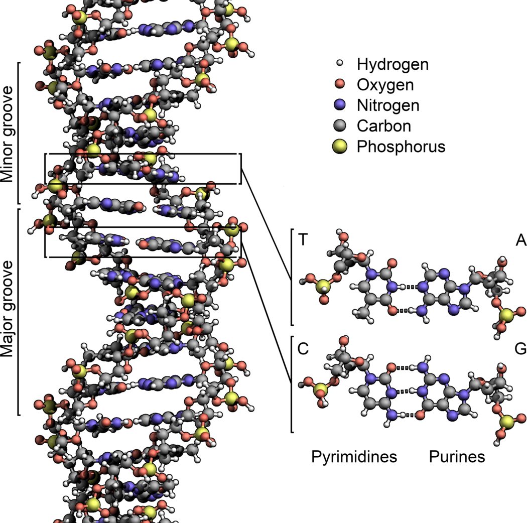 1050px-DNA_Structure%2BKey%2BLabelled.pn