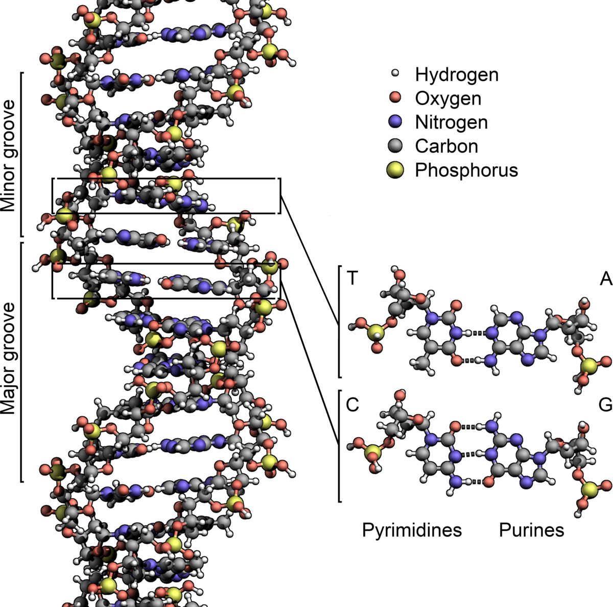 Dna wikipedia den frie encyklop di for What is the significance of pi s unusual name