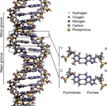 Illustration of major and minor groove in DNA