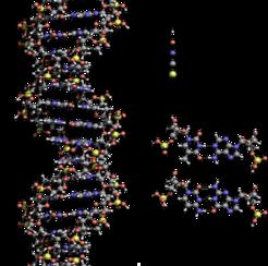 Το DNA (δεοξυριβονουκλεϊκό οξύ) είναι ένα είδος νουκλεϊκού οξέος που κωδικοποιεί την γενετικές πληροφορίες για την ανάπτυξη και λειτουργία όλων των γνωστών ζωντανών οργανισμών και πολλών ιών. Εδώ απεικονίζεται η δομή της διπλής έλικας του DNA. Δεξιά, μπορείτε να δείτε τα τέσσερα μονομερή του DNA, T, A, C, G.