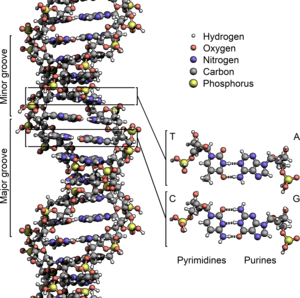 DNA - The structure of the DNA double helix. The atoms in the structure are colour-coded by element and the detailed structures of two base pairs are shown in the bottom right.