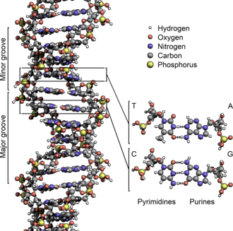 The structure of the DNA double helix. The atoms in the structure are colour-coded by element and the detailed structures of two base pairs are shown in the bottom right. DNA Structure+Key+Labelled.pn NoBB.png