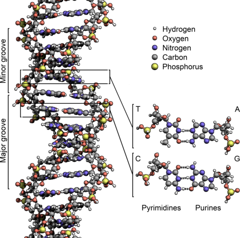DNA ئاتوم قۇرۇلمىسى، ساپلا ئەرزان ئاتوملاردىن تۈزۈلگەن