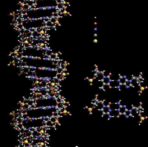 DNA med de 4 baser A,C,T og G