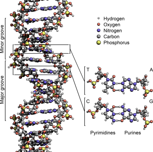 DNA Structure+Key+Labelled.pn NoBB