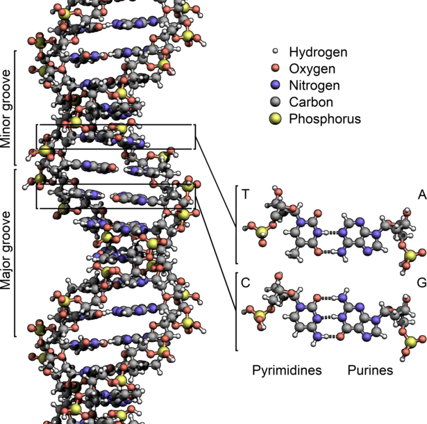 Berkas:DNA Structure+Key+Labelled.pn NoBB.png