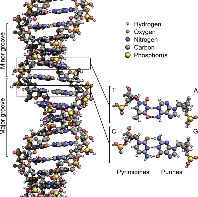 640px-DNA_Structure%2BKey%2BLabelled.pn_