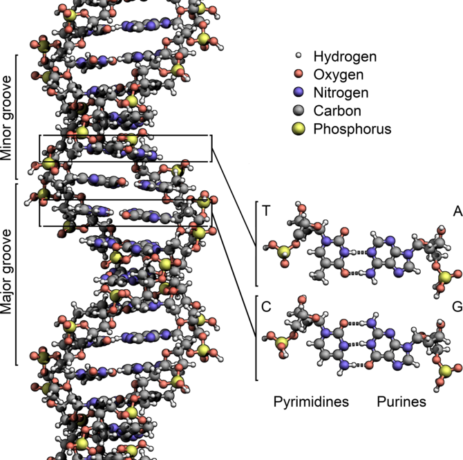 English: The structure of DNA showing with det...