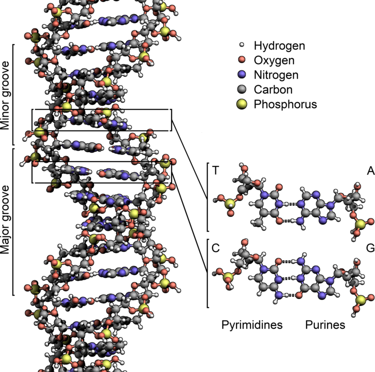 DNA Structure+Key+Labelled