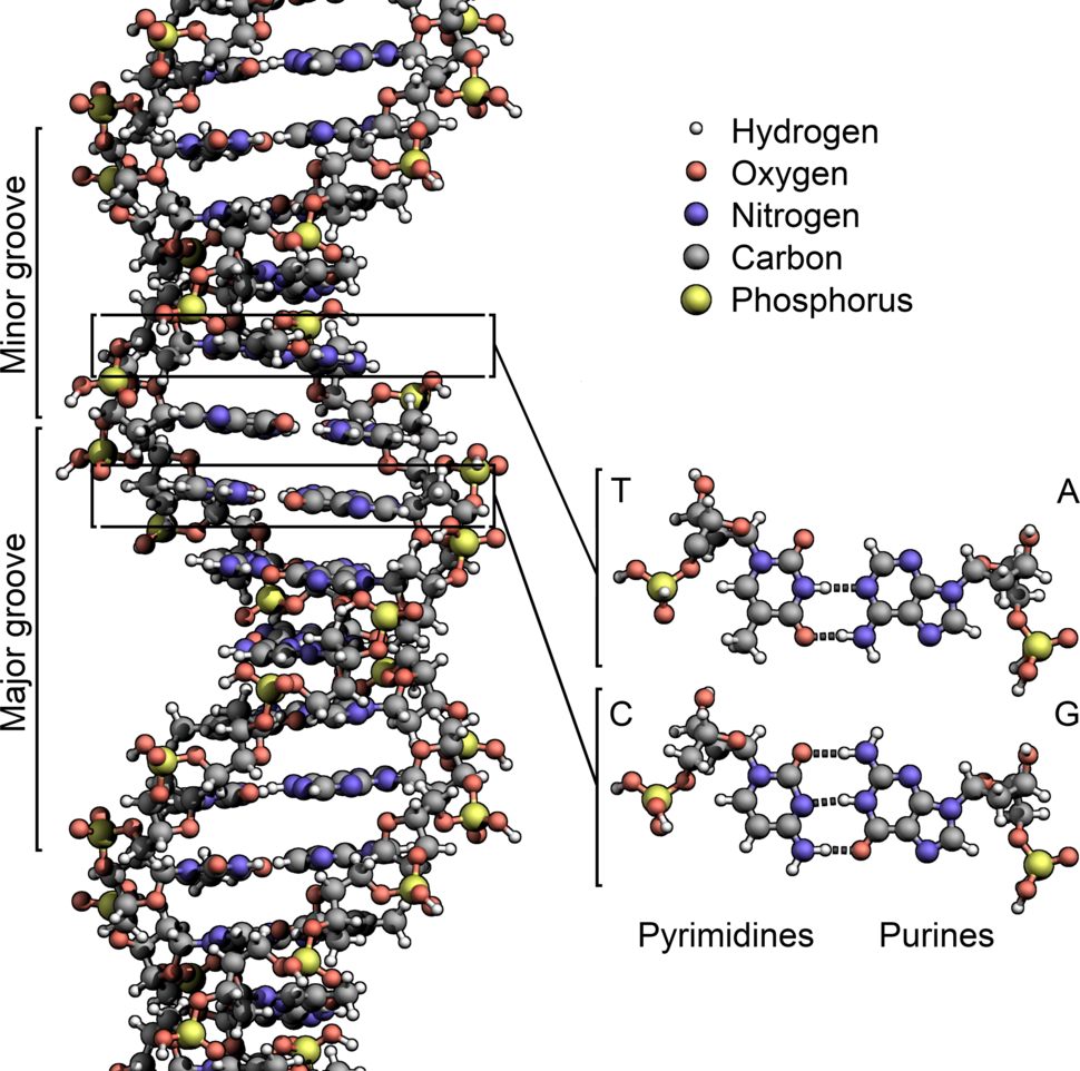 DNA Structure%2BKey%2BLabelled.pn NoBB