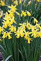 Daffodils (3338409628).jpg