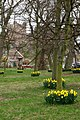 Daffodils in Bamburgh - geograph.org.uk - 728187.jpg