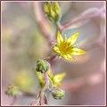 Dainty Succulent Flowers (142962083).jpeg