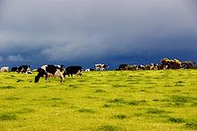 Vacche al pascolo nella campagna Irlandese.
