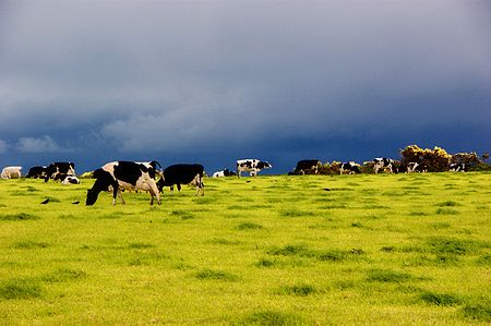 Dairy cows on pasture in Ireland.jpg
