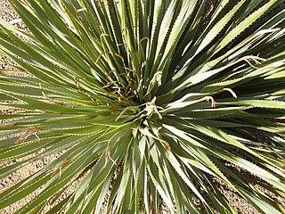 <i>Dasylirion</i> genus of plants