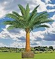 Date Palm Tree.jpg