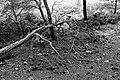 Dead pine - Réserve naturelle régionale de Sainte Lucie BW.jpg