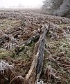 Dead tree trunks by the Shropshire Way - geograph.org.uk - 1112704.jpg