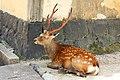 Deer near Kofuku-ji, Nara (3811356168).jpg