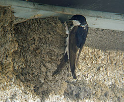 A swallow-like bird with black upperparts, white rump and white underparts perched on an enclosed mud nest built where a wall and ceiling meet