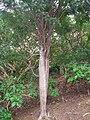 Delonix adansonioides - Koko Crater Botanical Garden - IMG 2290.JPG