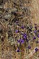 Delphinium patens-6.jpg