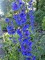 Delphinium sp. - Flickr - peganum.jpg