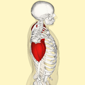 Deltoid muscle lateral.png