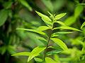 Der Zitronenstrauch, Aloysia citrodora, Verbenaceae, Zitronenverbene, Habitus 06.jpg