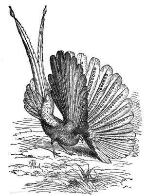 Argus (bird) - Image: Descent of Man Burt 1874 Fig 52