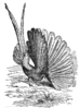 Argus pheasant for Darwin's Descent of Man by T. W. Wood