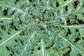 Detail van een bladrozet van een Speerdistel (Cirsium vulgare) 06-02-2020. (d.j.b) 03.jpg