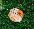 Detmold - 2014-06-13 - LIP-066 - Großer Ehberg - Amanita rubescens (01).jpg