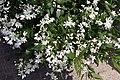 Deutzia gracilis Nikko 3zz.jpg