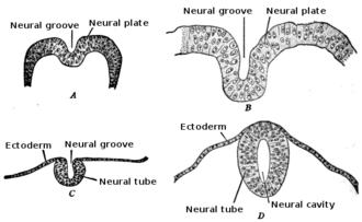 Neuroepithelial cell - Development of the neural tube