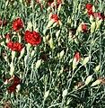 Dianthus caryophyllus Chabaud 'Etincelant', Elfenau.jpg
