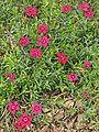 Dianthus deltoides Brilliant.JPG