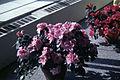 Dicksons Florist flower shop azaleas 03.jpg